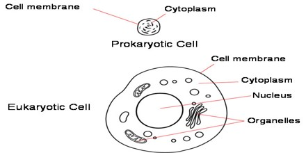 Eukaryote assignment point most plants animals and fungi are composed of many cells and are for that reason aptly classified as multicellular while most protists consist of a sciox Images