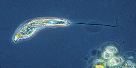 Flagellate (Protozoan) - Assignment Point