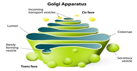 golgi apparatus research paper