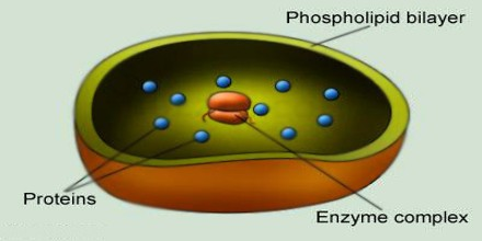 About Lysosome - Assignment Point