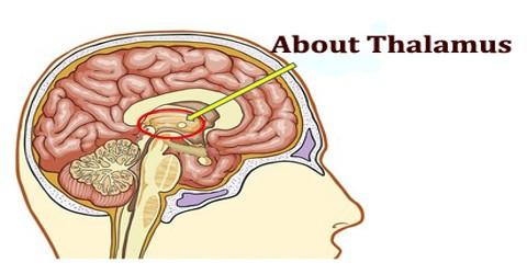 About Thalamus