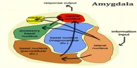 amygdala assignment point