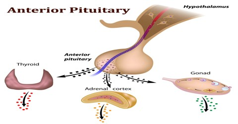 anterior pituitary - assignment point, Cephalic Vein