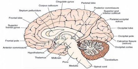when unfolded each cerebral hemisphere cortex has a total surface area of about 13 square feet 012 m2
