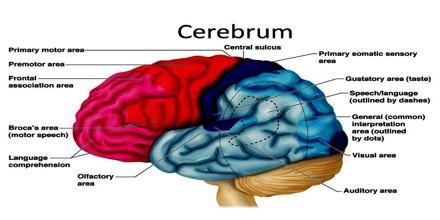 Anatomy Of Cerebrum - Anatomy Drawing Diagram