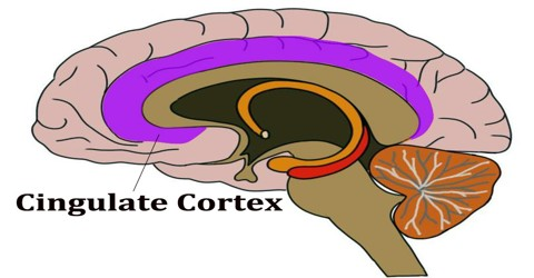 Cingulate Cortex