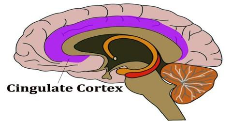 Cingulate Cortex