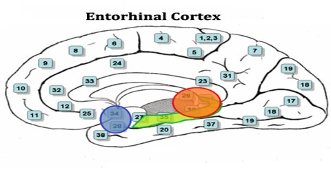 Entorhinal Cortex