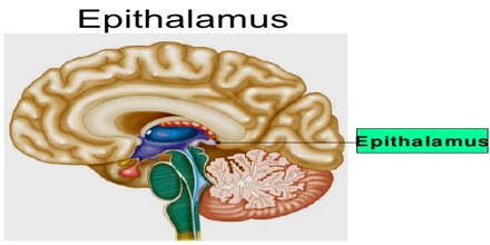 epithalamus diagram - photo #32