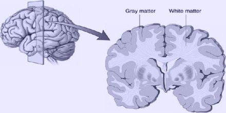 In the grey matter, these axons are mainly unmyelinated, meaning they are  not covered by a whitish-colored, ...