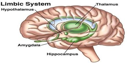 functions with limbic system