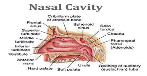 nasal cavity - assignment point, Human body