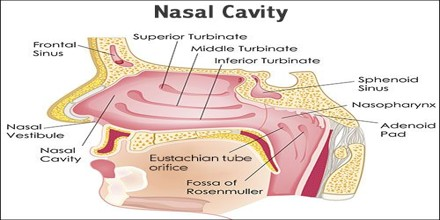 Nasal cavity assignment point most air breathed in normally flows through the nose but only a small part reaches the olfactory clefts to get a response to an odor ccuart Gallery