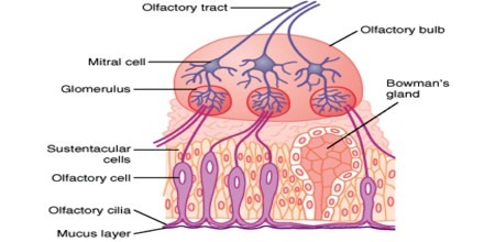 eye and cells olfactory neurons The cranial nerves can be  the receptors of these neurons are found in the olfactory epithelium and the axons  the ganglion cells of the retina.