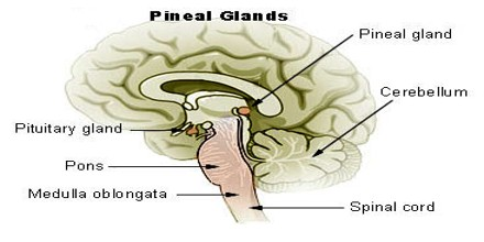 Anatomy of pineal gland