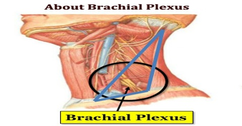 About Brachial Plexus