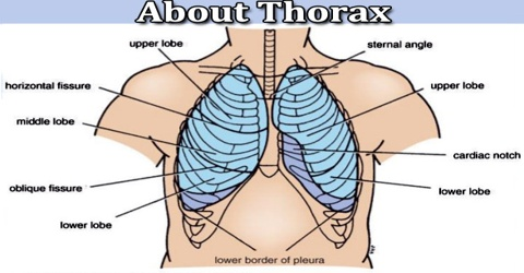 About Thorax