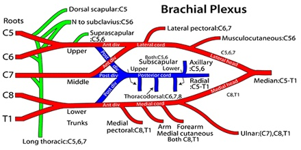 Vertical infraclavicular brachial plexus block in children ...
