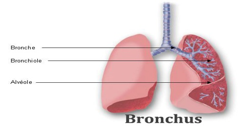 Bronchus Assignment Point