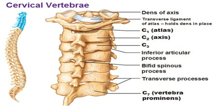cervical vertebrae assignment point
