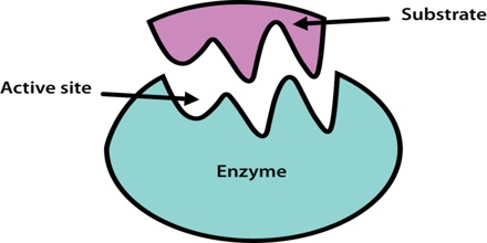 enzyme assignement 2 Chem 131 enzyme essay assignment—50 pts  pick a medically important enzyme and write a 3 (three) page paper summarizing its importance in the body (what does it do.