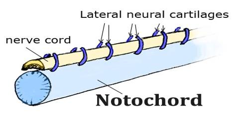 Notochord
