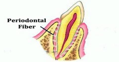Periodontal Fiber