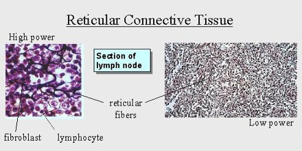 Reticular Connective Tissue - Assignment Point