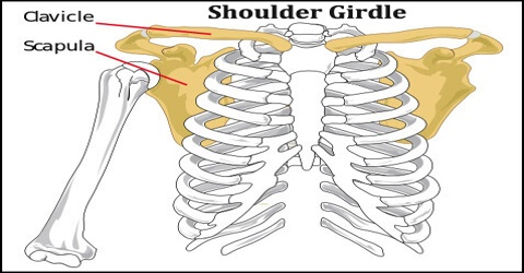Shoulder Girdle - Assignment Point