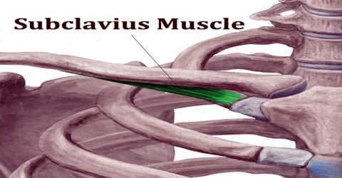Subclavius Muscle Assignment Point