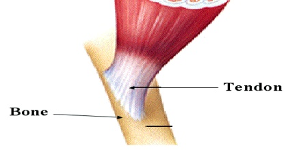 tendon assignment point