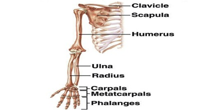 Upper Limb - Assignment Point  Upper Extremity Bones Unlabeled