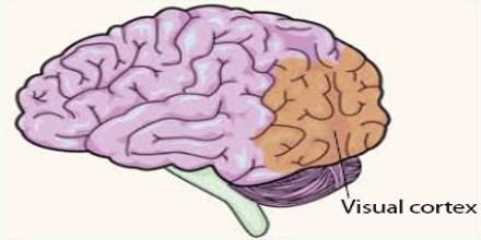Visual Cortex - Assignment Point |Visual Cortex