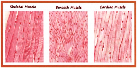 Cardiac Muscle - Assig...