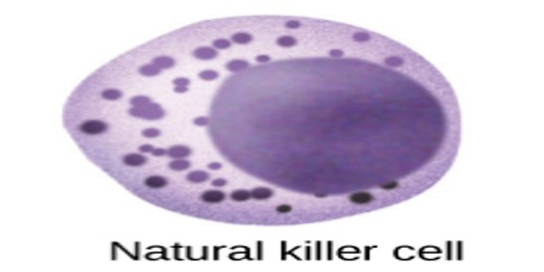 natural killer cell