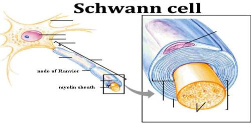 Schwann Cell Assignment Point
