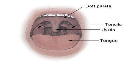 The Soft Palate Is Distinguished From The Hard Palate At The Front Of The  Mouth In That It Does Not Contain Bone. Pathology Of The Soft Palate  Includes ...