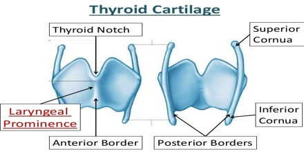 Thyroid Cartilage Assignment Point
