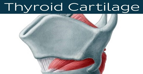 Thyroid Cartilage