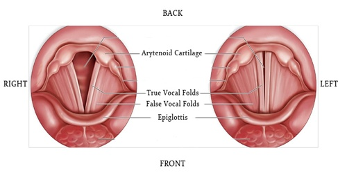 Vocal Folds - Assignment Point