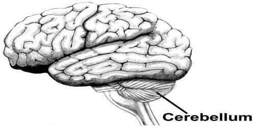 About Cerebellum