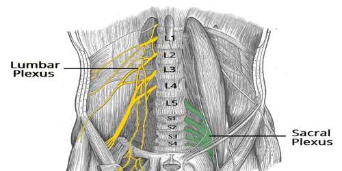 the nerves of the lumbar plexus pass in front of the hip joint and mainly support the anterior part of the thigh