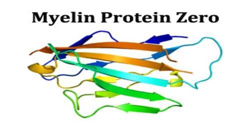 Myelin Protein Zero