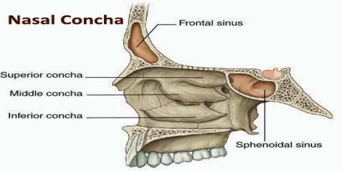 nasal concha