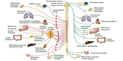 Peripheral nervous system assignment point the peripheral nervous system is divided into the somatic nervous system and the autonomic nervous system the somatic nervous system is under voluntary ccuart Image collections