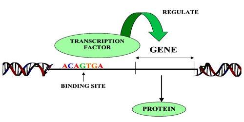 transcription factor