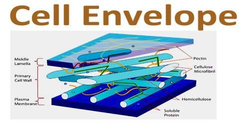 cell envelope