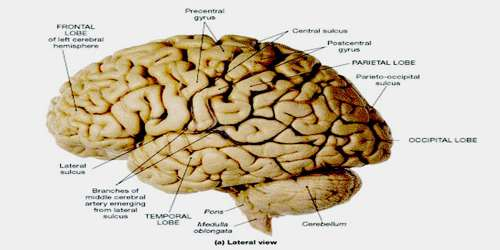 Lateral Sulcus Assignment Point