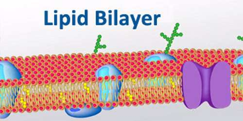 Lipid Bilayer