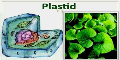 Plastid